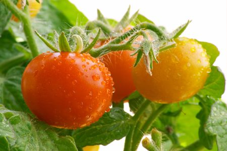Mini red tomatoes