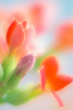 Red kalanchoe Imagens