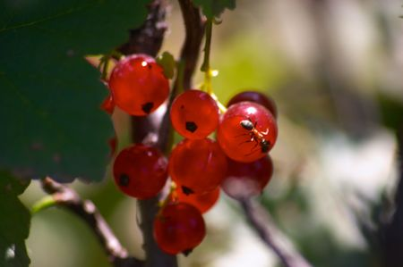 Red currant Stock Photo - 250563