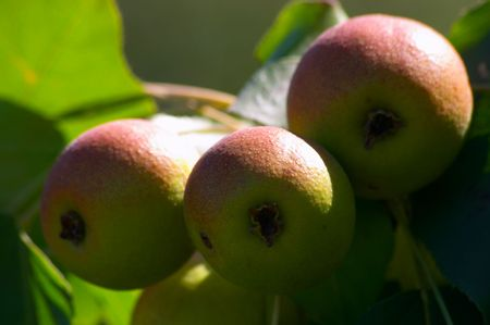 Pears on the tree, close-up Stock Photo - 264945