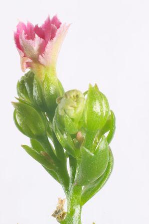 serrate: Pink dentate Kalanchoe - macro, isolated Stock Photo