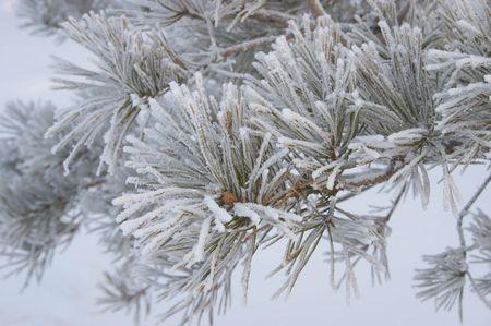 Hoar-frost on frozen branch of pine photo