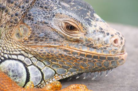 Pet iguana Stock Photo - 327289