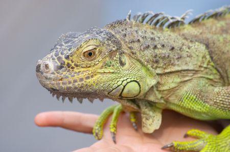 earthly: Prt iguana