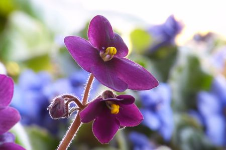Macro of African violet flower photo
