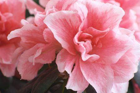 装飾的なつつじの花