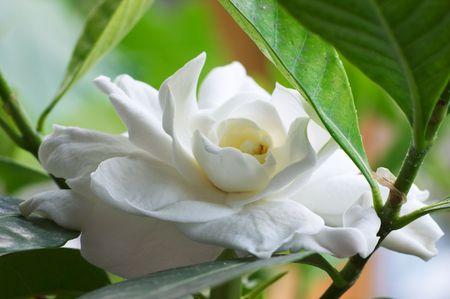 開花クチナシ