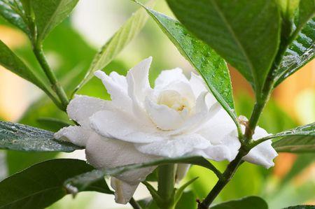 Rain drops in the Gardenia flower 스톡 콘텐츠