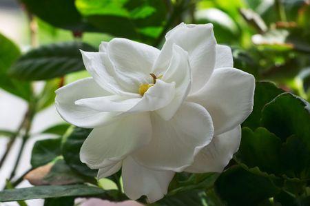 Flower of Gardenia 스톡 콘텐츠