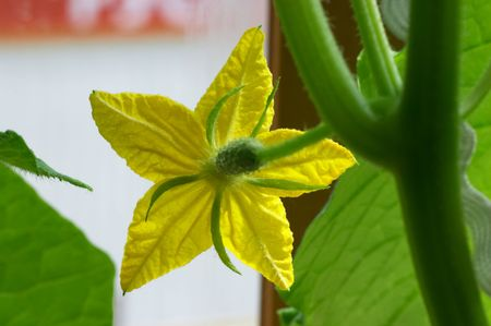 Flower of blossom cucumber Stock Photo - 451556