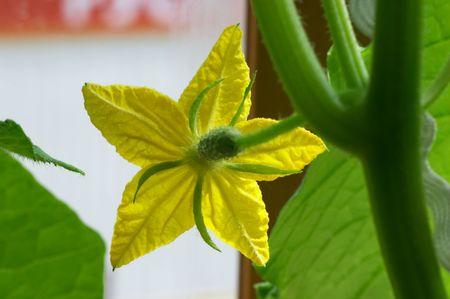 Flower of blossom cucumber Stock Photo - 451556