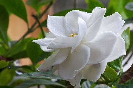 jardineras: Flor de Gardenia Foto de archivo