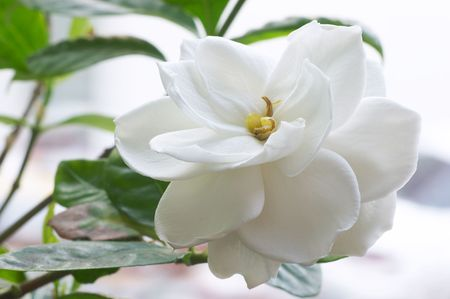 Flor de Gardenia Foto de archivo - 451498