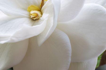 Flower of Gardenia Stock Photo