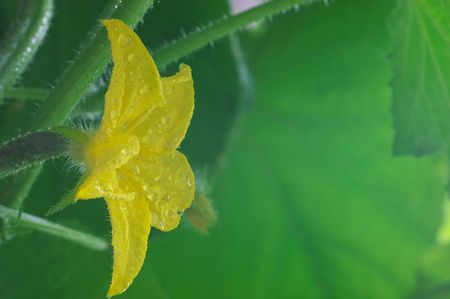 Flower of cucumber with raindrops Stock Photo - 464096