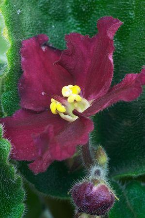 Flor violeta africana  Foto de archivo - 498336