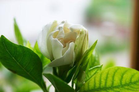 gardenia: Half-opened bud of gardenia Stock Photo