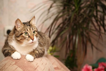Senior cat - 12 y.o. - oversee by gold fish in aquarium photo