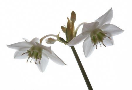High key white amaryllis flower. November 2006 photo