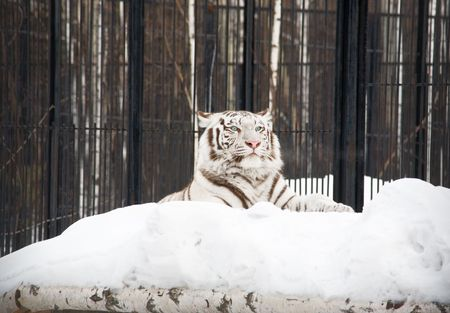 White tigress in the Novosibirsk ZOO. January 2007 photo