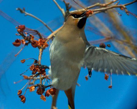 wilding: Waxbird (Bombycilla garrulus). Novosibirsk. March 2007