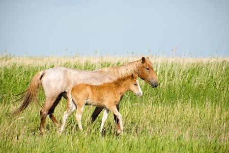 Horses . Mare with colt. Near Chany lake, Novosibirsk area, June 2007 Stock Photo - 1106629