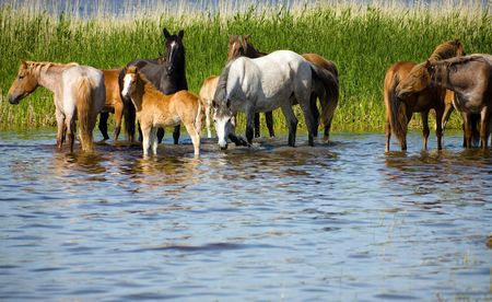 Horses on the watering. Chany lake, Novosibirsk area, June 2007 Stock Photo - 1268860