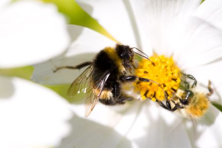 opponents: Bee and bumblebee on the cosmea flower. Stock Photo