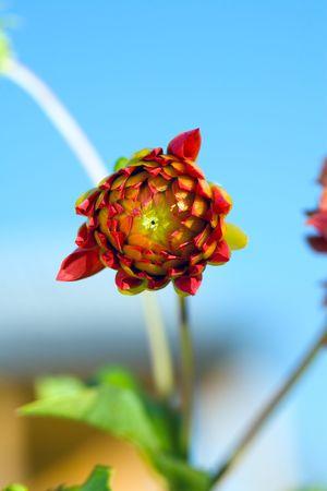 georgina: Bud of Dahlia (georgina) flower. August 2007, Novosibirsk Stock Photo