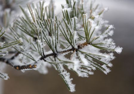 pinetree: A close-up of a pine-tree branch covered hoarfrost  Stock Photo