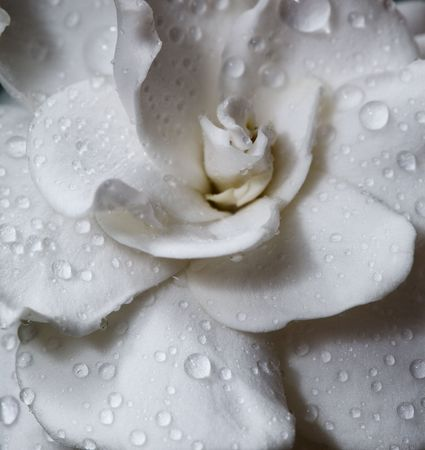 Gardenia bloem met regendruppels. Macro.