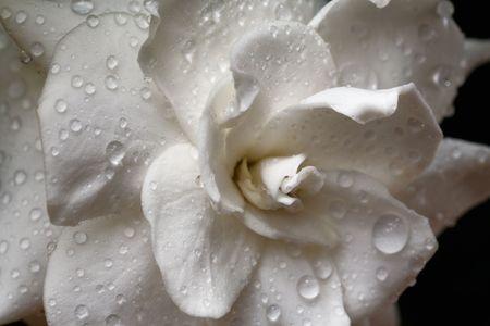 雨滴とクチナシの花。マクロ。