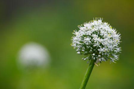 Blossom onion, shallow DOF, macro