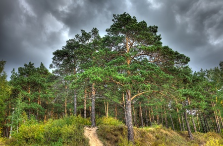 pinetree: Nature autumn landscape, HDR image