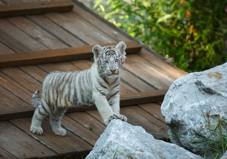 White tiger cub on the ZOO. Stock Photo - 10653937