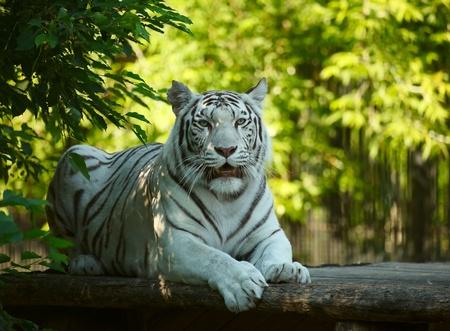 tigresa: Tigre blanco descansando. Novosibirsk Zoo.