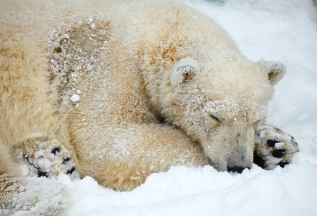 Sleepeng polar bear on the snow.