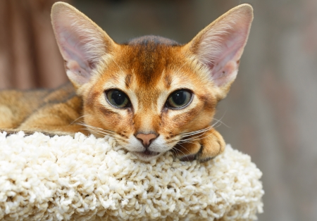 abyssinian cat: Young abyssinian cat lying at cat tree furniture