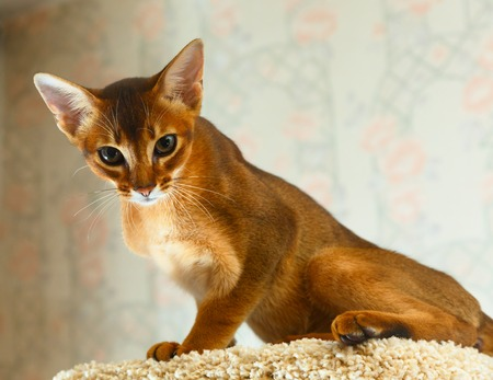 abyssinian cat: Young abyssinian cat at cat tree furniture