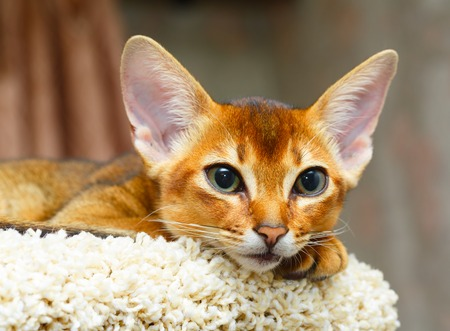 abyssinian cat: Young abyssinian cat lying
