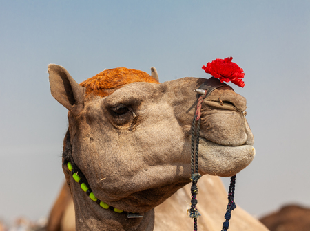 Camels at the fair in Pushkar Stock Photo