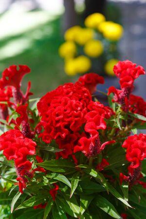 Red Celosia Flower Vietnam