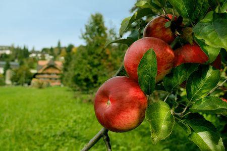 red organic apples on tree on a swiss apple farm Stock Photo