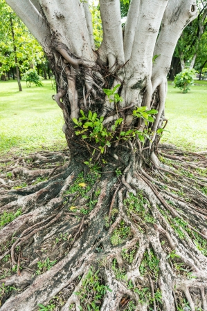 deep roots: roots and stems, forest, Thailand Stock Photo