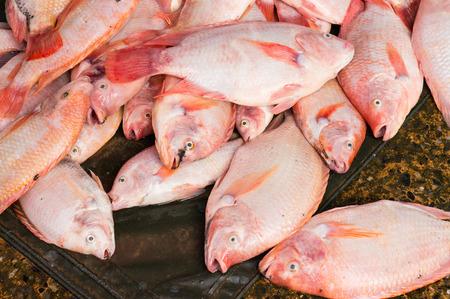 oreochromis niloticus: The Closeup of Oreochromis niloticus Stock Photo