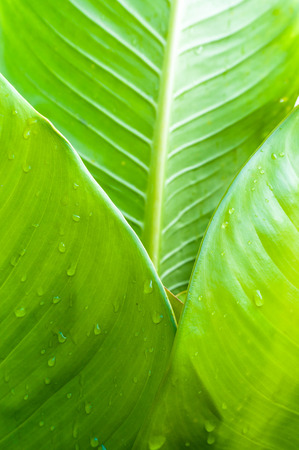 Close up of Banana leaf with water drops, blur the middle of Banana leaf  photo