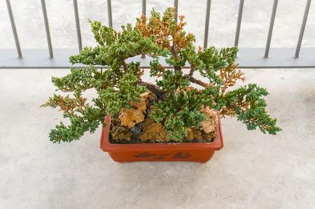 japenese: Old bonsai tree growing in an indoor garden