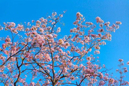 Japanese cherry blossom in spring with blue sky background photo
