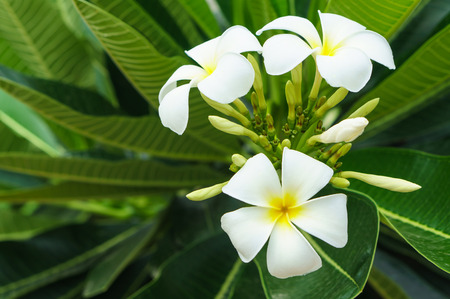 white and yellow frangipani flowers with leaves in background photo
