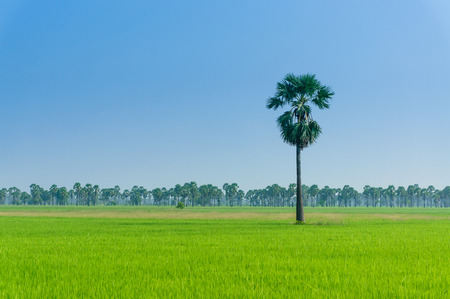 beautiful landscape of rice fields in Thailand photo